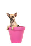 Cute chihuahua puppy dog in a pink flower pot Royalty Free Stock Images