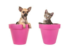 Cute chihuahua puppy dog and tabby young cat in pink flowerpots Stock Photo