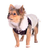 Cute chihuahua puppy dressed in trendy coat Royalty Free Stock Photography