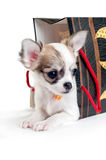 Cute chihuahua puppy with gift bag Stock Images