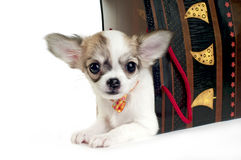 Cute chihuahua puppy in the gift package isolated. Chihuahua puppy in the gift package isolated on white studio shot stock photography