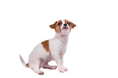 Cute chihuahua puppy looking up Royalty Free Stock Photo