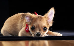 Cute chihuahua puppy lying down on black Royalty Free Stock Photography