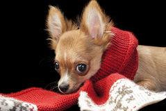 Cute chihuahua puppy with nice red scarf Royalty Free Stock Photography