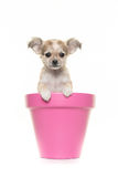 Cute chihuahua puppy in a pink flower pot Stock Photography