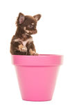 Cute chihuahua puppy in a pink flower pot Stock Images