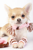 Cute chihuahua puppy with pink winter set close-up on white background Stock Photos
