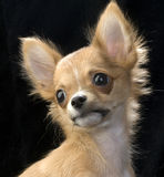 Cute chihuahua puppy portrait Stock Image