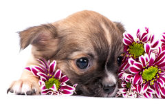Cute chihuahua puppy portrait with pink chrysanthemums Royalty Free Stock Photo
