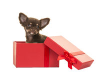 Cute chihuahua puppy in a red present box Stock Photo