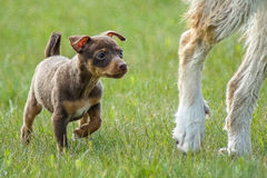 Cute chihuahua puppy running happy over the meadow stock image