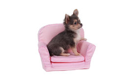 Cute chihuahua puppy sitting in pink armchair. Cute chihuahua puppy sitting in comfortable armchair isolated on white background Stock Photo
