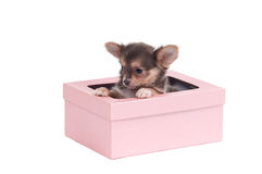 Cute chihuahua puppy sitting in pink gift box Stock Image