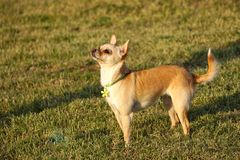 Cute Chihuahua Puppy Standing in the Sun. Cute Chihuahua puppy standing on grass in the sun and looking up Royalty Free Stock Photos