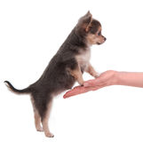 Cute chihuahua puppy standing on a woman's hand Royalty Free Stock Photography
