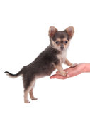 Cute chihuahua puppy standing on a woman's hand Stock Image