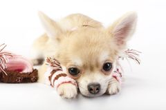 Cute chihuahua puppy with striped socks and hat Royalty Free Stock Image