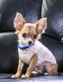 Cute chihuahua puppy wearing white sweater Stock Photography