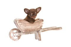 Cute chihuahua puppy in a wheel barrow. Cute chihuahua puppy dog in a wooden garden wheel barrow isolated on a white background Stock Images