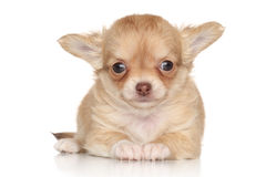 Cute Chihuahua puppy on white background Royalty Free Stock Photos