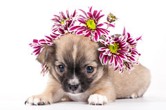 Cute chihuahua puppy with wreath of chrysanthemums Stock Image