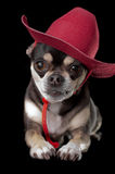 Cute Chihuahua in Red Cowboy Hat. Cute chihuahua dressed in red cowboy hat isolated on black background Stock Photos