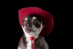 Cute Chihuahua in Red Cowboy Hat. Cute chihuahua dressed in red cowboy hat isolated on black background Stock Image