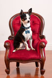 Cute Chihuahua on red old fashioned chair Stock Photo