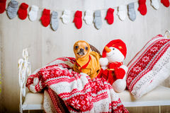 A cute chihuahua in a reindeer costume with large eyes Royalty Free Stock Photo
