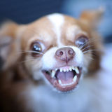 Cute chihuahua showing fang tooth, nose focused Royalty Free Stock Images