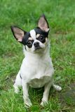 Cute Chihuahua sits on grass Royalty Free Stock Photos