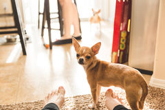 Cute Chihuahua Standing by Bare Feet Stock Image