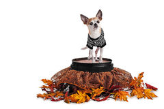 Cute Chihuahua standing on barrel with spider web skirt and tee shirt isolated on white Royalty Free Stock Photo