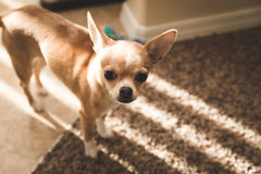 Cute chihuahua standing inside with sunlight through the blinds. A young chihuahua puppy stands in sunlight inside a modern home royalty free stock photos