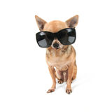 A cute chihuahua with sunglasses on Stock Photos
