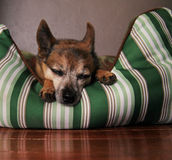 A cute  chihuahua taking a nap Stock Images