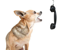 A cute chihuahua talking on the phone Stock Photo