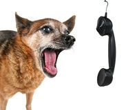 A cute chihuahua talking on the phone Stock Image