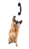 A cute chihuahua talking on the phone Stock Images