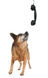 A cute chihuahua talking on the phone Royalty Free Stock Images
