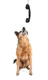 A cute chihuahua talking on the phone stock photography