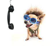 A cute chihuahua talking on the phone Royalty Free Stock Image