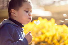 Cute child blowing dandelion at sunset Stock Images
