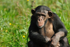 Cute chimpanzee Stock Image