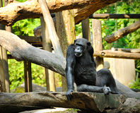 Cute chimpanzee Royalty Free Stock Images