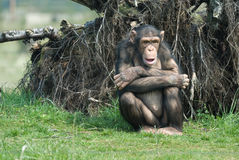 Cute chimpanzee Royalty Free Stock Image
