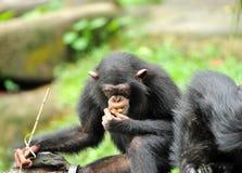 Cute chimpanzee Stock Photo