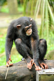 Cute chimpanzee Royalty Free Stock Photos