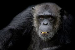 Cute Chimpanzee hold peanut in his mouth on black background royalty free stock photography