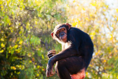 Cute chimpanzee sitting at a tree branch. Stock Images